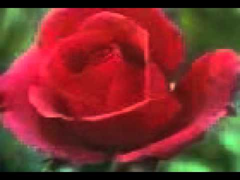 Sex Rose Dangerous.3gp video