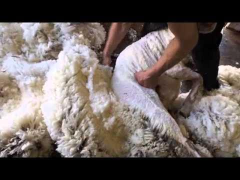 Merino  sheep shearing, Australia.