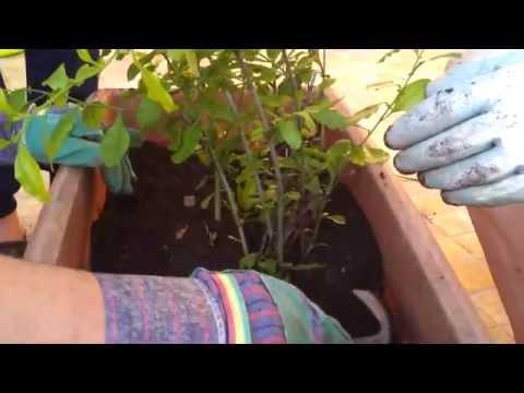 Gelsomino videolike for Potatura rincospermo
