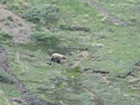 Eagles Attack Bear in Denali, Alaska (1 of 2)