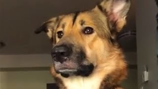 Pup not allowed to bark in house, does hilarious half-barks instead