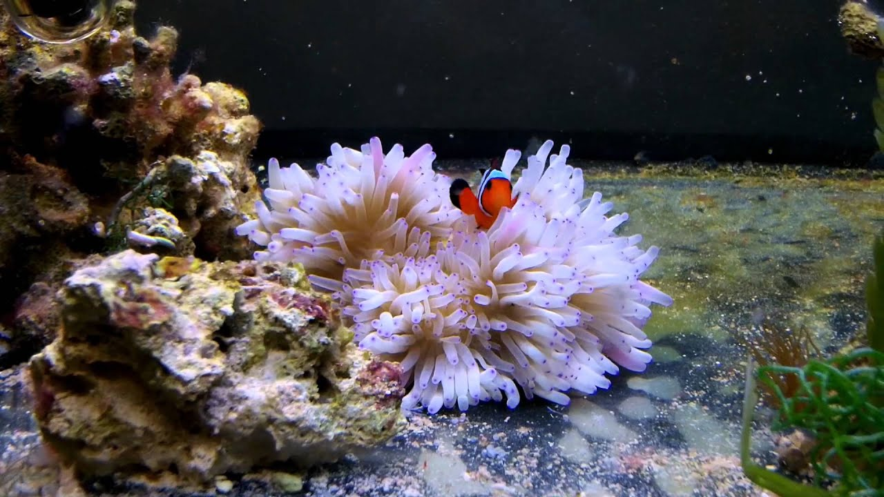 Black ice clownfish hosting sebae anemone youtube - Anemone species caring color refinement ...