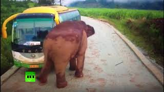 Download Wildlife vs transport: Elephant attacks vehicles in China 3Gp Mp4