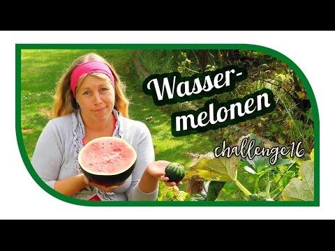 Wassermelonen Im Garten Anbauen | #wassermelonenchallenge16 | Ernte