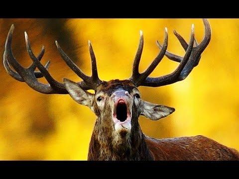 Red Deer Roar Fight