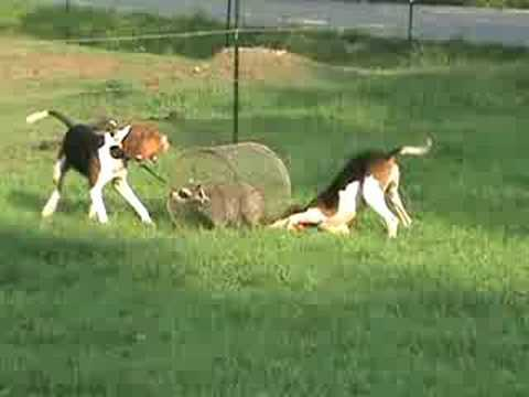 Training Coon Dog Video