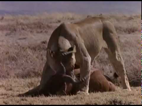 Hyenas vs Lions, Hyenas beat up and steal lions kills
