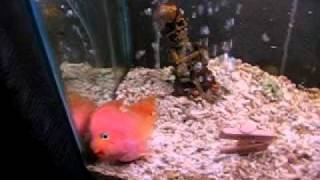 FISH PLAYS DEAD ON COMMAND! OMG!!!