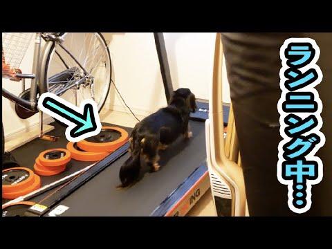 ランニングマシンが好きな犬の気合が凄い