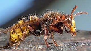 Hornet dressing up and Yellow jackets. Hornisse putzt sich u. Wespen