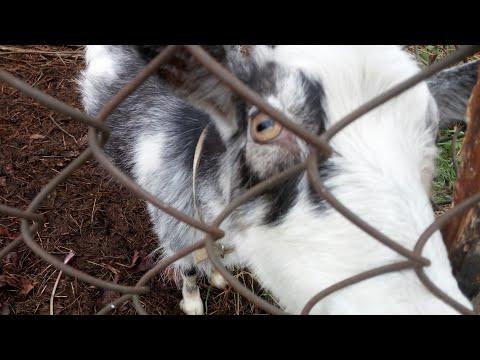 Как проглистогонить коз