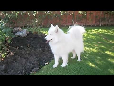 Samoyed - Samoyedo Lessy (Spain) Second Part