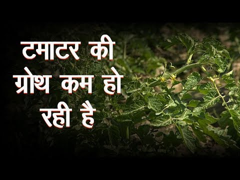 What To Do For Good Growth In Tamatar Tomato Farming Green TV