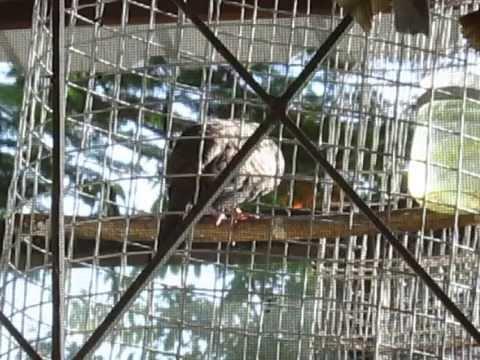 นกเขาชวาเสียงเล็ก สำหรับหัดเลี้ยงฟัดฟัง