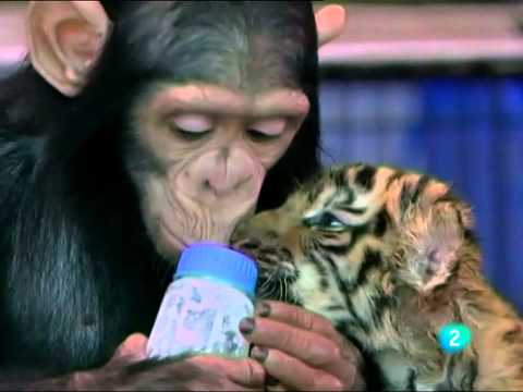 Mara Torres - Chimpance se encariña con cachorros de tigre - L2N 02 ago 11