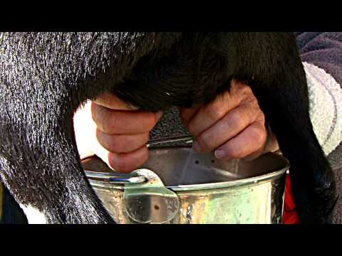 goat milking demonstration - IPE 2010