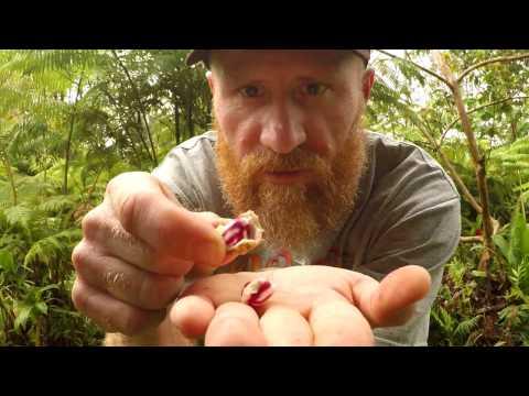 Wild Edible Plants: Jungle Peanut