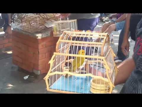 Canario criollo colombiano