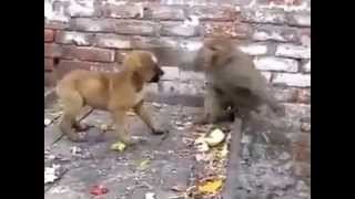Monkey fighting with dog and funny too