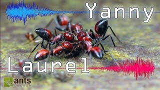 "Do You Hear ""Yanny"" or ""Laurel""? (Can Ants Be Confused, too?)"