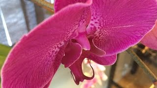 PHALAENOPSIS ORCHID BASICS: WINDOWSILL GROWING, REMOVAL OF OLD SPIKES & ROOTS, BASIC ORCHID AILMENTS
