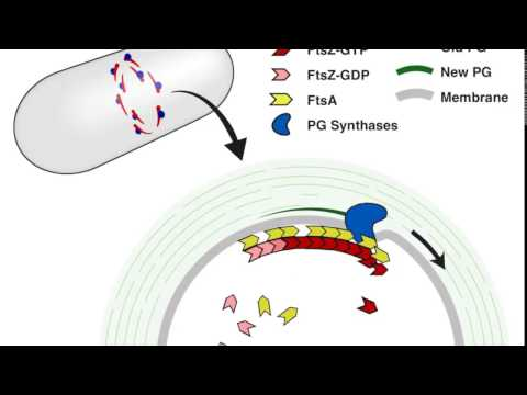 TU Delft - Building a new cell wall in bacteria
