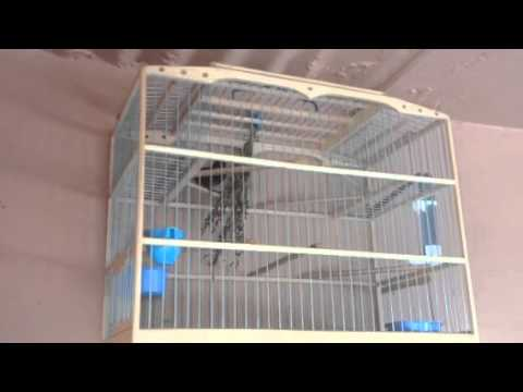 Bullfinch video