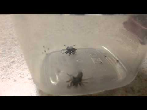[RAW FOOTAGE] ORIGINAL Spider explodes with babies when attacked by spider