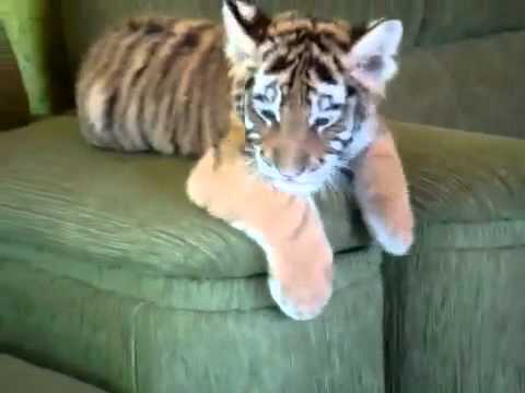Baby Tiger And Dog Friends
