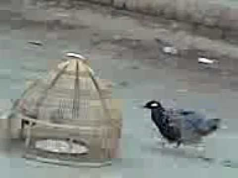 Kala Teetar Trained (black Francolin) Of Sardar Malik Rab Nawaz Uttra, Sab Se Mota Aawaaz video