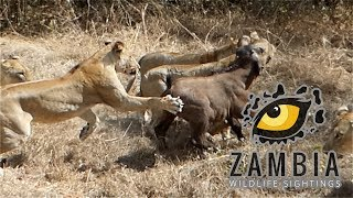 7 Lionesses Vs Buffalo Calf and its herd....