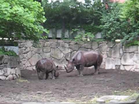 上野動物園サイ_赤ちゃんミミカ雨で大ハッスル
