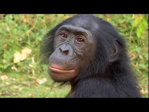 Science Nation - Bonobos