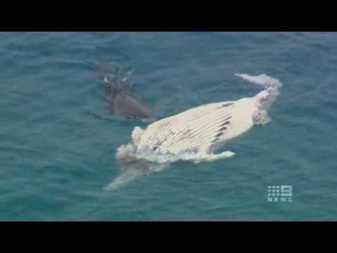 Up close with a giant White Pointer off Rottnest | 9 News Perth