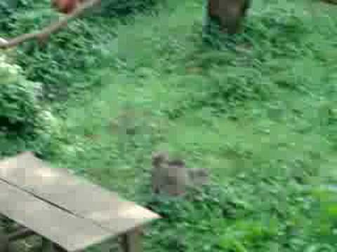 市川市立動物園「レッサーパンダ」