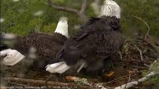 AEF NEFL Eagle Cam 11-14-18: Juliet Throws Romeo a Surprise Shower!