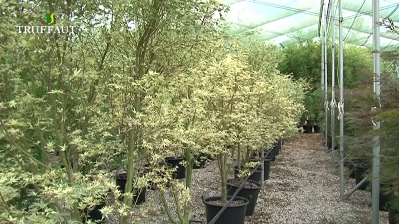 Plantation et taille de l 39 rable du japon jardinerie - Comment tailler un erable ...