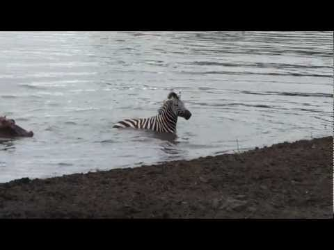 Crocodile vs zebra, amazing encounter