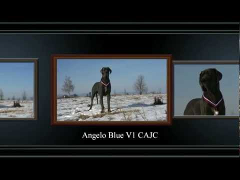 Great Dane  Angelo Blue Hradeck hvzda  dog show CACIB Trenn 29.1.2012