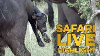 Incredible buffalo birth caught on camera!