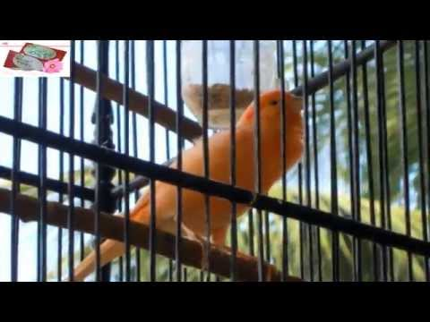 Kicau Nyaring Burung Kenari (canary Bird) video
