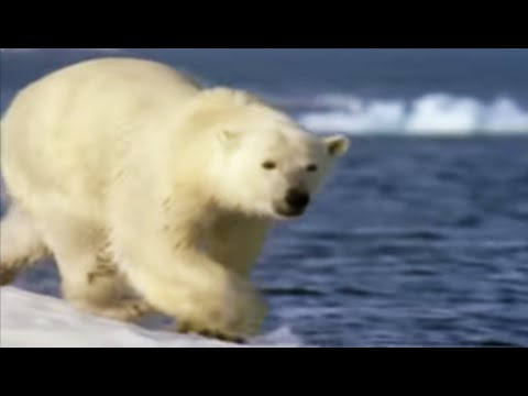 Polar bear habits - Wild: Polar Bear Diary - BBC