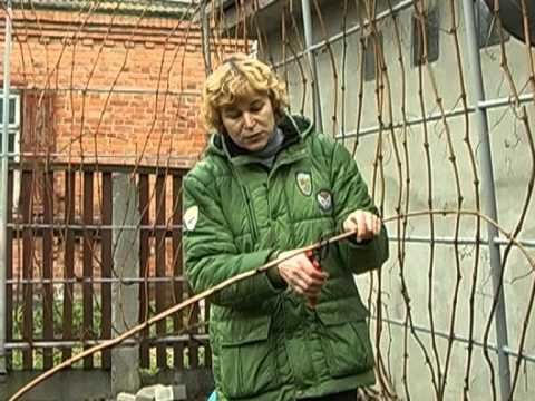 Видео как обрезать виноград весной