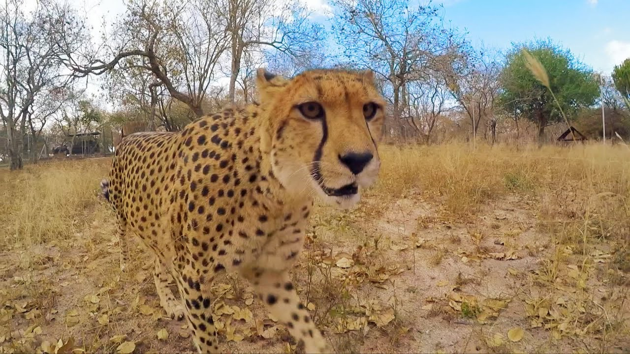 Cheetah speed test - Nature's Miracle Orphans: Series 2 Episode 3 - BBC One