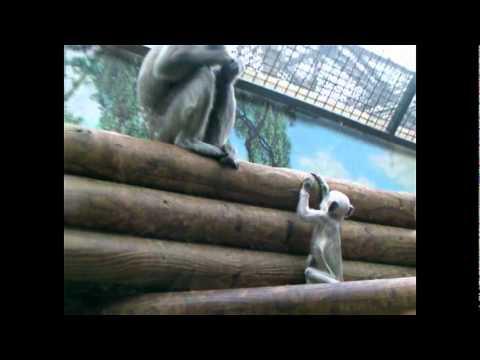 Divertido video de monos