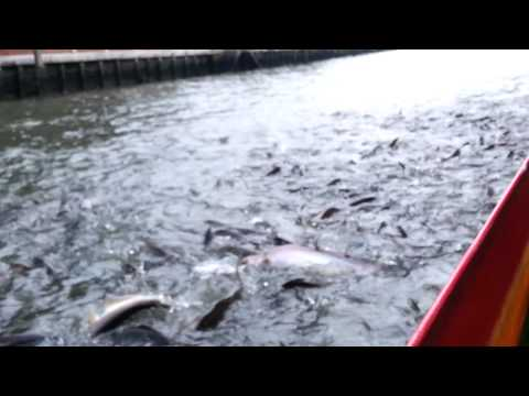 Fresh water fish in Chao Praya river.