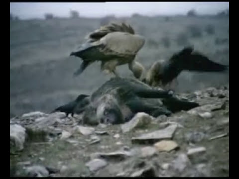 EHYLT lobos cazan jabali.avi