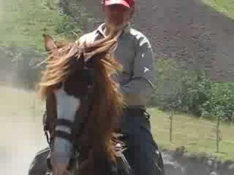 Caballos de Paso Peruano en Ecuador Caballo Paso Peruano en Venta