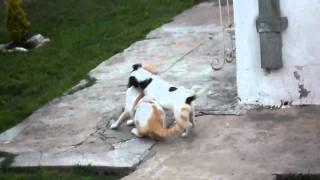 Perro feroz ataca a gato domestico pelea imperdible