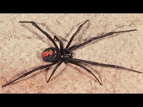 worlds most dangerous spider living under my dinner table